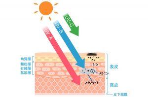 紫外線とメラニン生成の仕組み