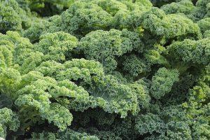 青汁などに使われるアブラナ科の野菜・ケール
