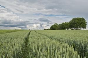 収穫前の小麦