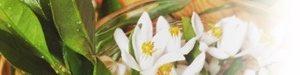 オレンジブロッサム(ビターオレンジの花)