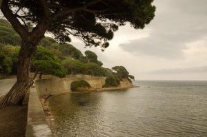 フランスの海岸松