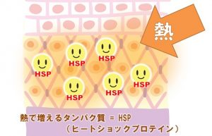 熱が加わると増えるタンパク質がHSP(ヒートショックプロテイン)