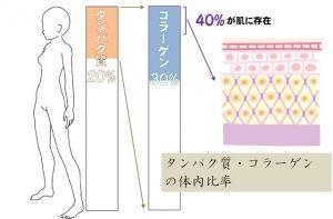タンパク質やコラーゲンの体内における比率